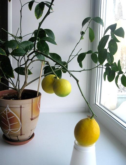 Как же вырастить лимон из косточки?